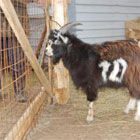 «Юный Аршавин – кудрявый молодой козел»