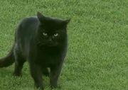 Матч Эвертона и Вулверхэмптона прервали из-за черной кошки
