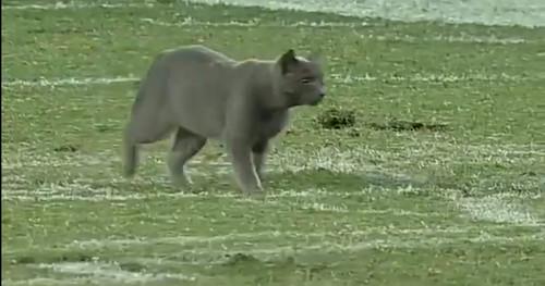 ВИДЕО. Кот выбежал на поле и прервал футбольный матч