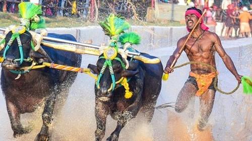 ВІДЕО. Індійський бігун побив рекорд Болта під час гонки з буйволами