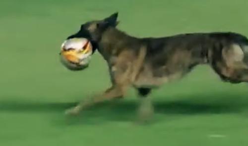 ВИДЕО. Собака на поле. Выбегания животных в футболе