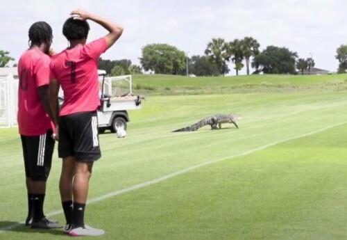 ФОТО. Добро пожаловать, Але Гатор. Торонто заключил контракт с крокодилом