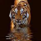 Тигр наступает