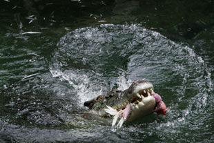 В ЮАР фанат вместе с женой переплыл реку с крокодилами