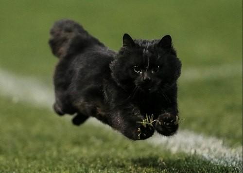 Черный кот стал участником регбийного матча в Австралии