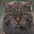 junglecat